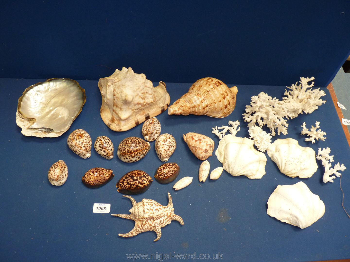 A quantity of shells including a large conch, oyster shell, coral cowries, clam shells, etc.