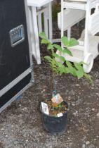 "A potted Walnut tree, 33"" high."