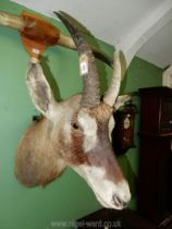 A taxidermy African Elan head with wall mount, 28'' long, 30'' to top of horn.