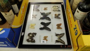 A framed collection of butterflies