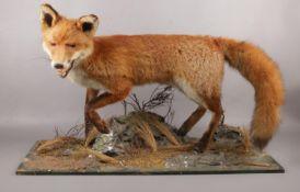 A taxidermy study of a Fox on naturalistic base. (54cm x 84cm)