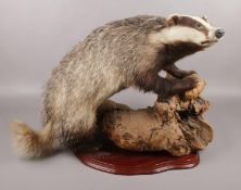 A taxidermy study of a Badger raised on piece of wood. (46cm x 60cm)