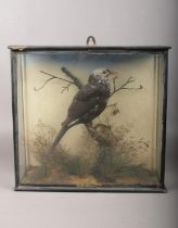 An early 20th century cased taxidermy study of a rare leucistic blackbird on naturalistic base.