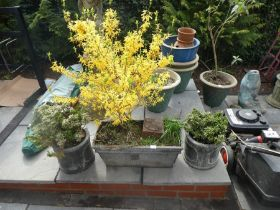A pair of round garden planters with shrubs and a rectangular planter with yellow flowering tree