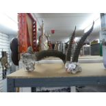 Two x large skull and horned displays gazelle/antelope