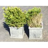 A pair of square planters with moulded rims & plinths, planted with dwarf boxwood hedge plants. (