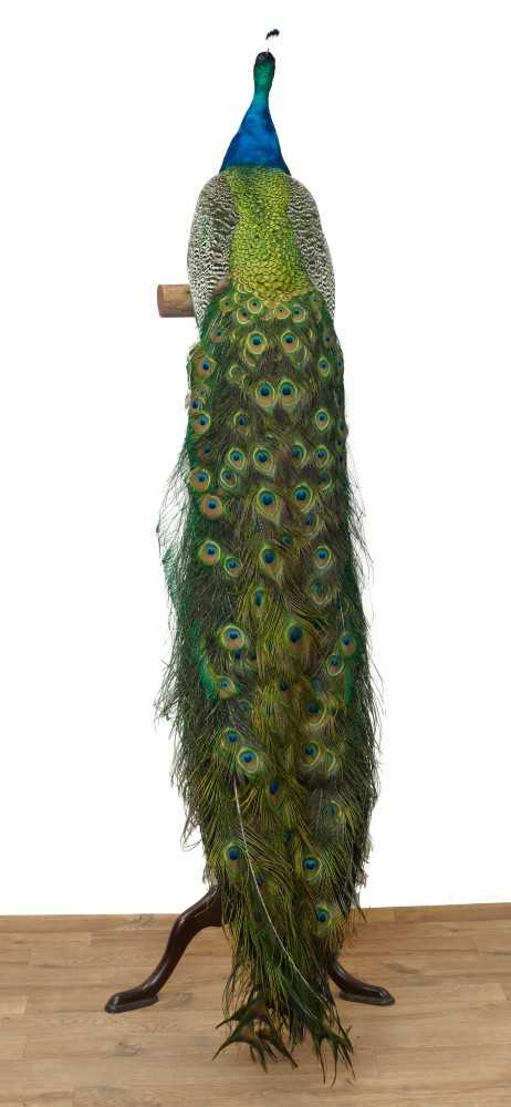 Impressive stuffed Peacock mounted on a mahogany torchère stand - Image 2 of 4
