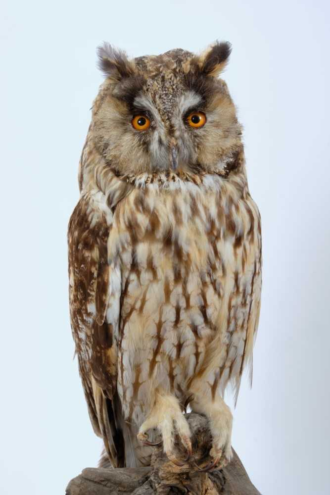 Long Eared Owl Perched on dry tree stump on oval oak base - Image 2 of 2