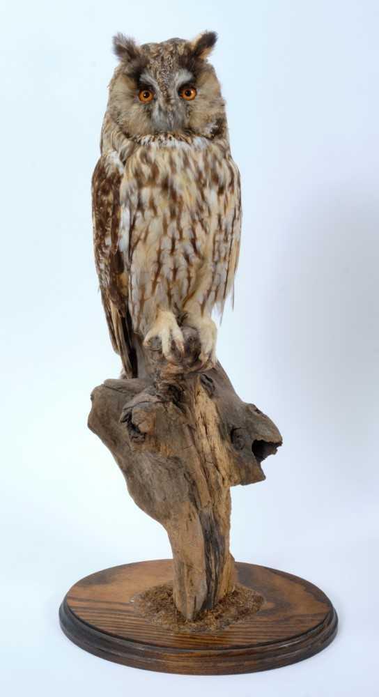 Long Eared Owl Perched on dry tree stump on oval oak base