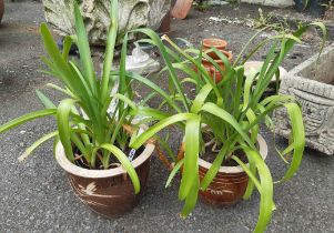 Two small garden planters containing agapanthus plants