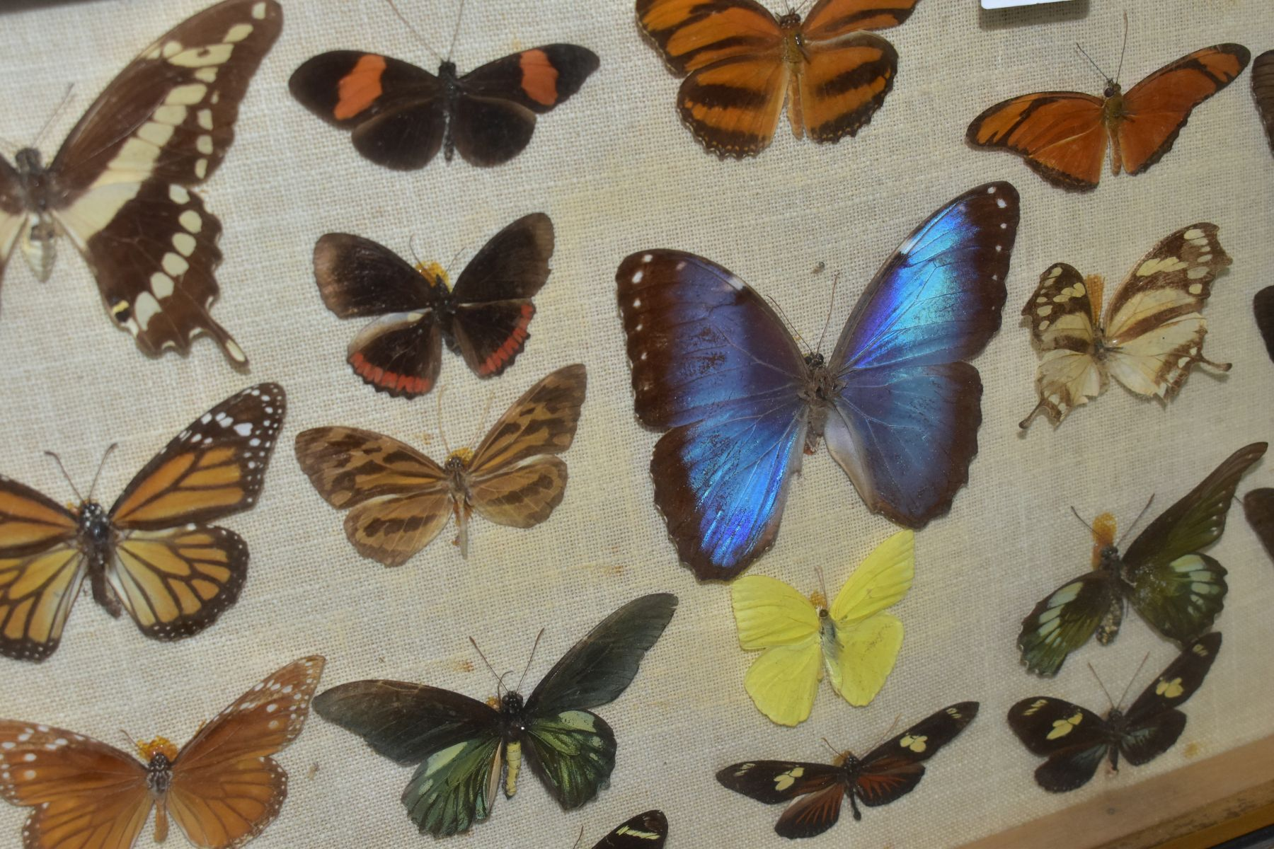 THREE DISPLAY CASES CONTAINING BUTTERFLIES AND MOTH SPECIMENS, together with four circular framed - Image 6 of 10