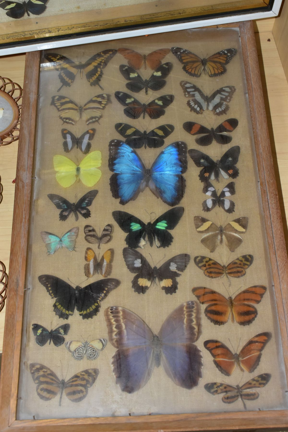 THREE DISPLAY CASES CONTAINING BUTTERFLIES AND MOTH SPECIMENS, together with four circular framed - Image 4 of 10