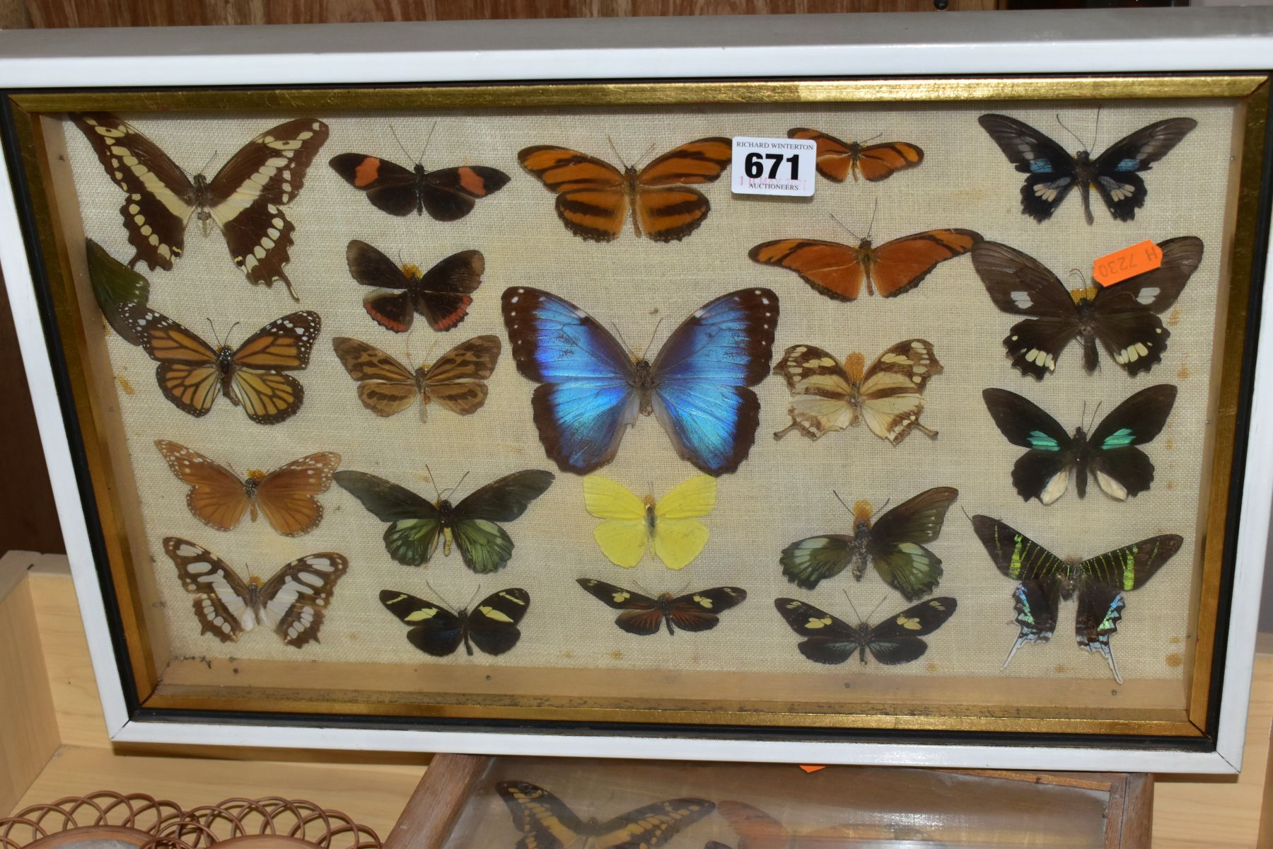 THREE DISPLAY CASES CONTAINING BUTTERFLIES AND MOTH SPECIMENS, together with four circular framed - Image 2 of 10