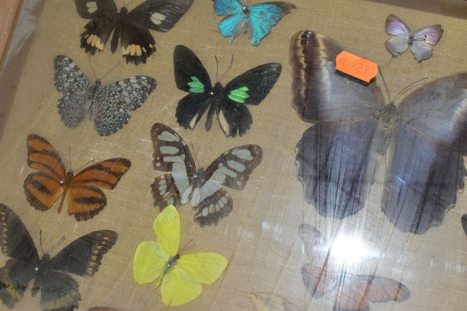 THREE DISPLAY CASES CONTAINING BUTTERFLIES AND MOTH SPECIMENS, together with four circular framed - Image 9 of 10