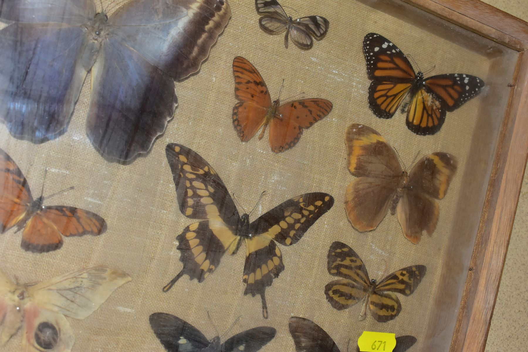 THREE DISPLAY CASES CONTAINING BUTTERFLIES AND MOTH SPECIMENS, together with four circular framed - Image 10 of 10