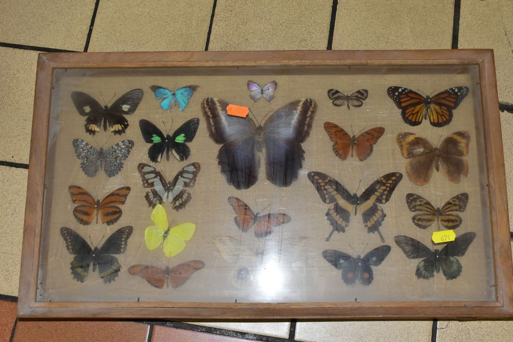 THREE DISPLAY CASES CONTAINING BUTTERFLIES AND MOTH SPECIMENS, together with four circular framed - Image 7 of 10