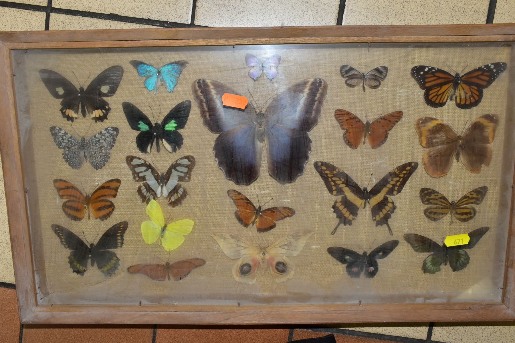 THREE DISPLAY CASES CONTAINING BUTTERFLIES AND MOTH SPECIMENS, together with four circular framed - Image 8 of 10