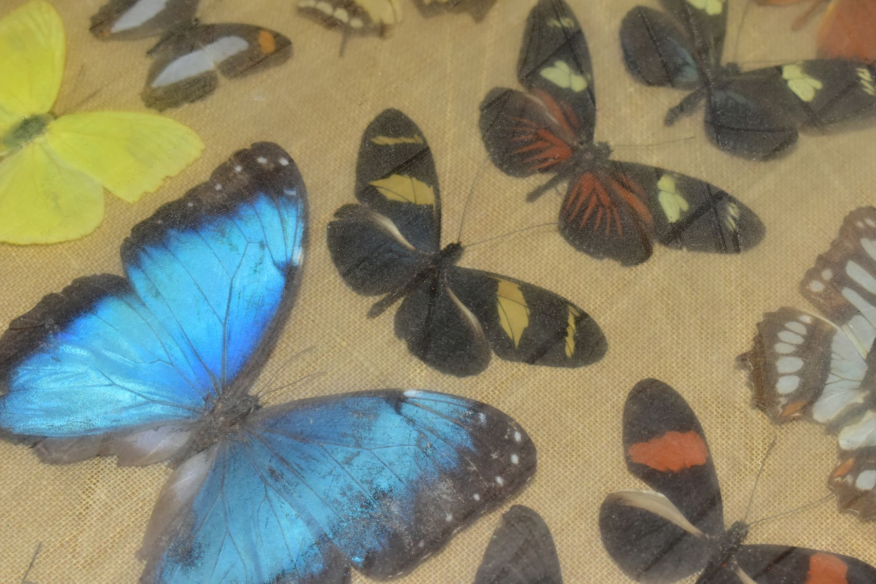THREE DISPLAY CASES CONTAINING BUTTERFLIES AND MOTH SPECIMENS, together with four circular framed - Image 5 of 10