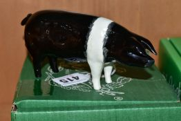 A BESWICK WESSEX SADDLEBACK BOAR, Ch 'fairacre Viscount 3rd' Nom 1512, designed by Colin