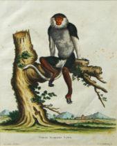 Johann Sebastian Leitner, German 1715-1795- Simia Nemaeus Linn; hand-coloured engraving, 22.5 x 18