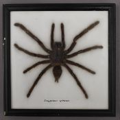 A taxidermy specimen of a large spider, framed. The frame 19.5 x 19.5 cm.