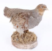 Wood mounted Grey Partridge