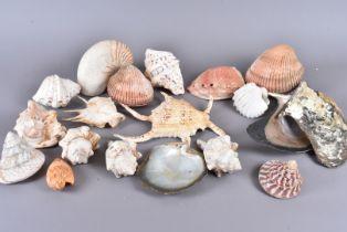 A collection of larger species of shell, including Cardium Costatum, Voluta Hunteri, Nautilus