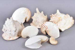 A selection of larger shells, including Cassis Cornuta (Horned Helmet), Affinis Cruenta, and