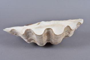 Tridacna Gigantea, Giant Clam, member of the Clam Genus Tridacna, half shell 5.5cm long, 29cm