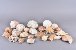 An assortment of various shells, to including Turbo Marmoratus (Green Turban), Tonna Tessellata (