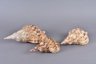 Charonia Tritonis, also known as Triton's Trumpet or Triton snail, from the Charoniidae family,