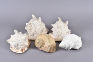 Cassis Cornuta, known as the Horned Helmet, three examples of various sizes, together with a Florida