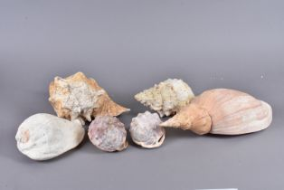 A collection of large conches, including Strombus Galeatus (Eastern Pacific Giant Conch), Tutufa