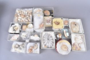 A quantity of various sea shell species, including Xenophora Solaris, Pterynotus Phyllopterus (