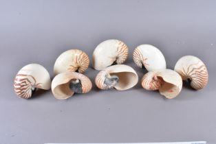 Nautilus Pompilius, Chambered Nautilus, also known as Pearly Nautilus, genus of Cephalopods, and