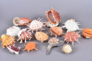 Spondylidae Family, a collection of spiny oysters, comprising of a variety of species to