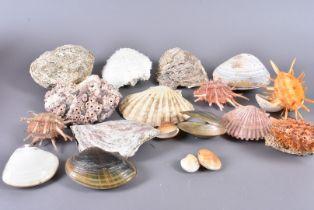 A collection of Bi-Valve shells, including Tivela Stultorum (Pismo Clam), Ostrea Iridescens,
