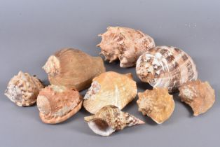An assortment of shells, comprising Titanostrombus Galeatus with Opercullum (Eastern Pacific Giant