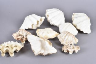 A small collection of clam and bi-valve shells, including Tridacna Squamosa (Scaly Clam), various
