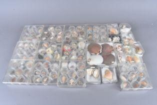 A large collection of various shells, including Conus Striatus (Striated Cone), Conus Aulicus (