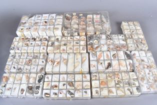 A substantial collection of assorted shells, from numerous species, including Trochus Maculatus,