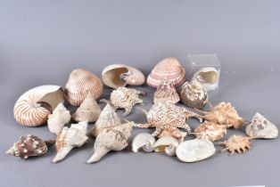An assortment of various shell species, including Nautilus Pompilius, Chambered Nauticus, Strombus