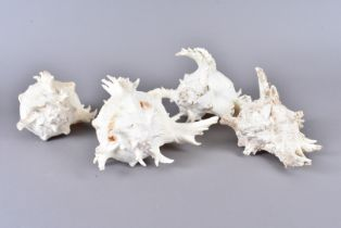 Chicoreus Ramosus, more commonly known as the Ramose Murex or Branched Murex, from the family