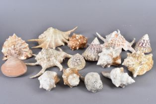 A range of different species of shell, including Cassis Tuberosa (King Helmet), Megapitaria Squalida