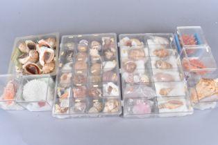 An array of species of sea shell, including Rapana Thomasiana (veined rapa whelk), Siratus