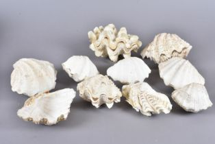 A collection of various Tridacna Gigantea clams, including Tridacna Squamosa, also known as the