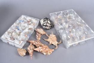 A quantity of shells from the Liguus Fasciatus family, including Falcconi, Achatinus, Testudineus,