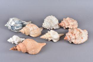 A selection of various shells, including, the Neptunea Polycostata (Buccinidea), Busycon Carica/
