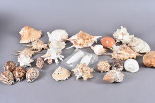 An assortment of various shells, including Tonna Galea (Giant Tun), Cyrtopleura Costata (Angel