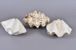 Tridacna Gigantea, Giant clams, three small complete examples, largest 22cm wide, all of slightly